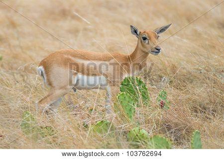 Blackbuck Antelope Calf