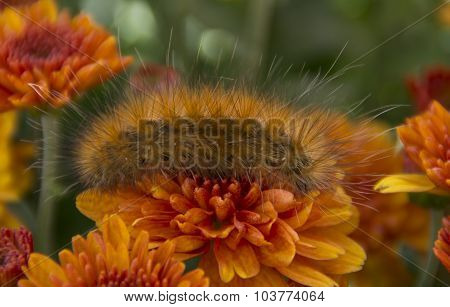 Lined Tiger Moth Larva