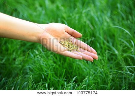 Wheat grain in female hand on green grass background