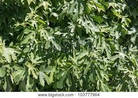 Leaves Of A Green Fig Tree, Natural Environment