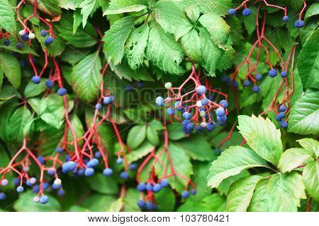 Berries on bush, close-up