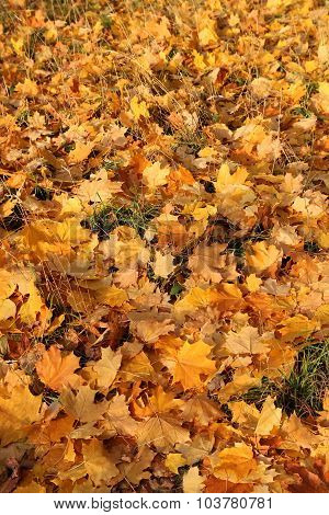 Golden leaves in grass in autumn