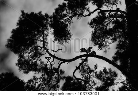Kestrel Couple Silhouette On Pine-tree