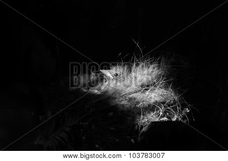 Black And White Retro Presentation Of The Chick In The Nest