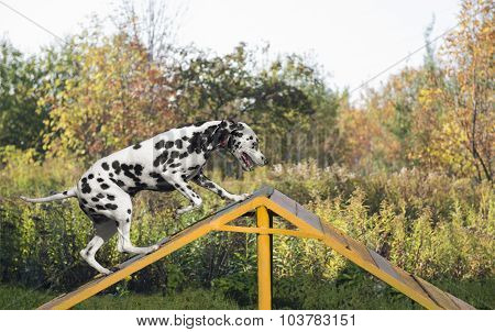Dalmatian dog in nature