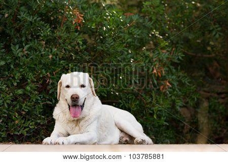 old senior labrador dog in the park looking at camera