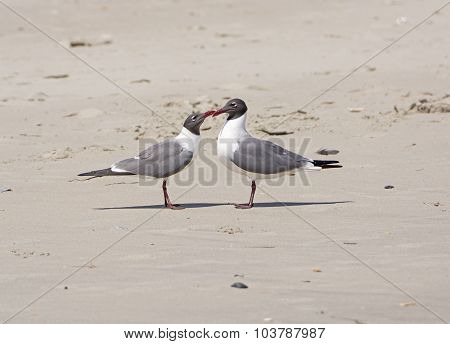 A Pair Of Laughing Gulls Nuzzling On A Beach