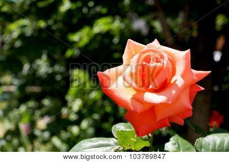 Beautiful orange rose over green  leaves background