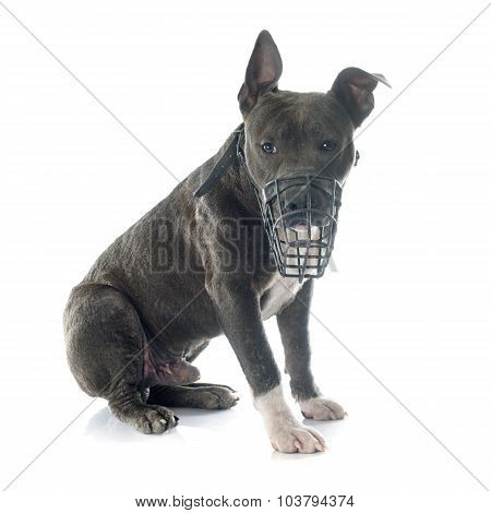 Puppy American Staffordshire Terrier And Muzzle
