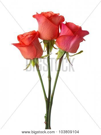 Three orange roses isolated on white background.