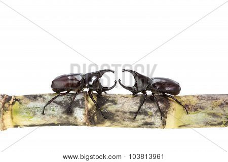 Close Up Male Fighting Beetle (rhinoceros Beetle) On Sugarcane Isolated On White