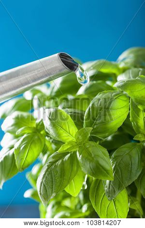watering fresh basil leaves herb