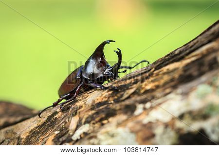Male Fighting Beetle (rhinoceros Beetle) On Tree