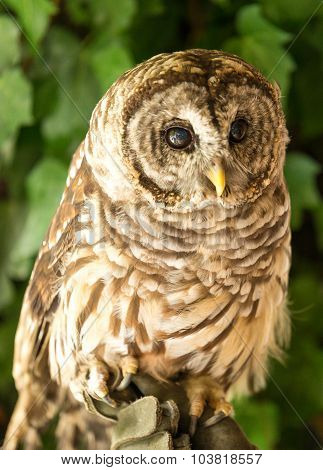 Colorful Barred Owl