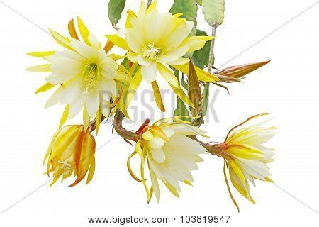 Epiphyllum Bundle
