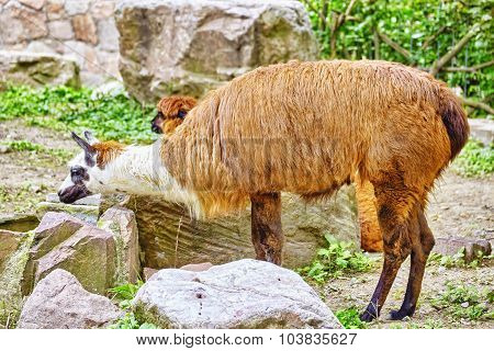 Cute Animal- Lama.