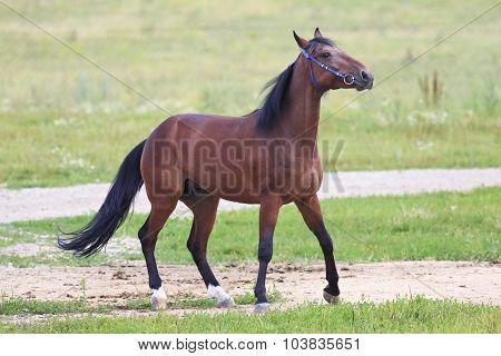 Beautiful bay stallion Thoroughbred breed