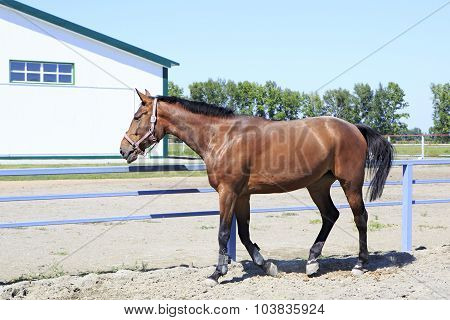 Beautiful filly Hanoverian breed