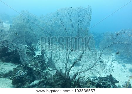 Coral Reef With Gorgonian On The Bottom Of Tropical Sea, Underwater