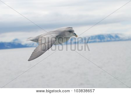 Northern Fulmar (fulmar Glacialis) Bird Gliding Over The Arctic Sea
