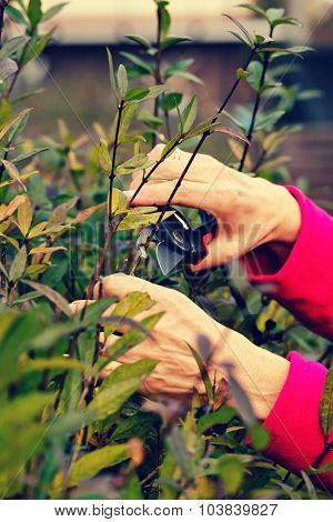 Hands cutting bush with clippers.