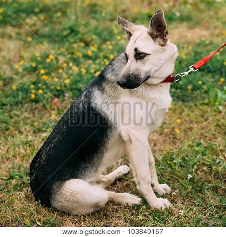 Young East European Shepherd dog sitting in green grass outdoor