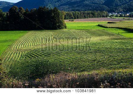 Hay harvesting in summer
