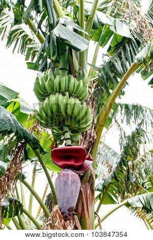 Green Bananas On Tree With Flower From Nicaraguan Farm