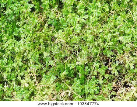 Fresh Ivy Carpet