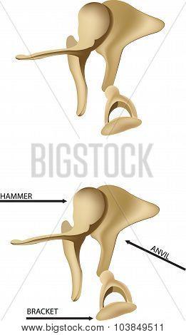 ear bones
