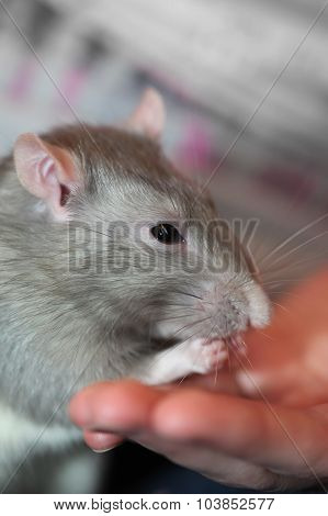 Portrait of domestic rat eating with hands