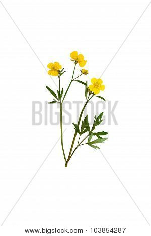 Pressed And Dried Bush Meadow Buttercup. Isolated On White Background.