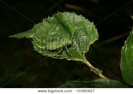 Green Shield Bug (PalomenapPrasina)
