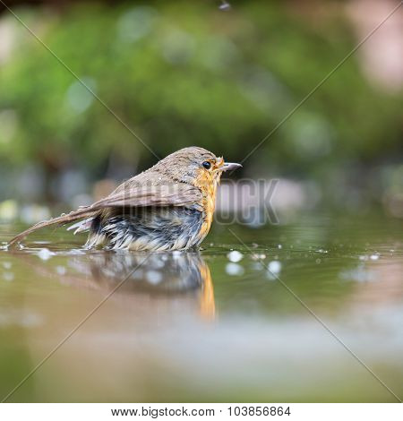 European Robin bird in water lake