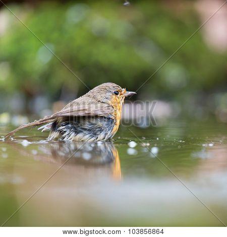 European Robin bird in water lake