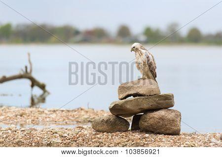 Common Blonde buzzard in nature
