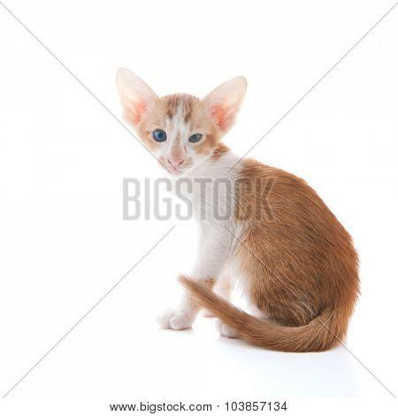 Little Siamese kitten isolated over white background