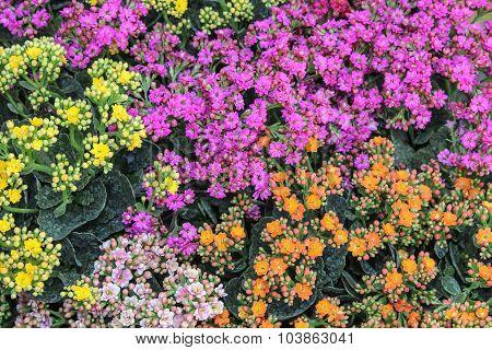 Colorful Kalanchoe, flowers background.