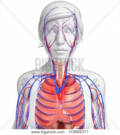 Female Respiratory System Artwork