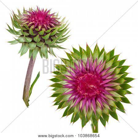 Carduus acanthoides. Flower