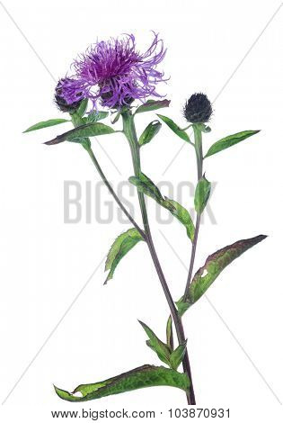 lilac wildflower isolated on white background