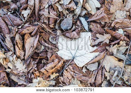 Dry Foliage Covered By Rime, Frosty Fall Background