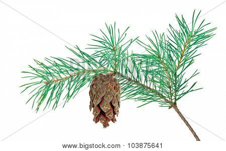 blue pine branch isolated on white background