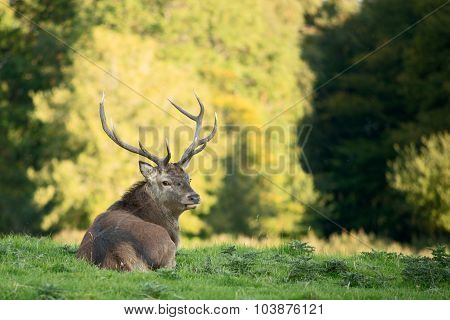 Red deer stag looking into the camera