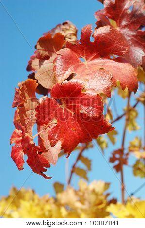 Hojas de uvas rojas