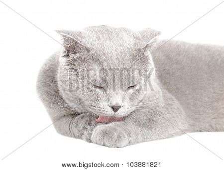 Blue Scottish Fold cat licks his paw