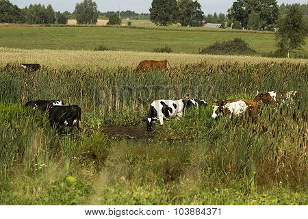 Cows On Watering