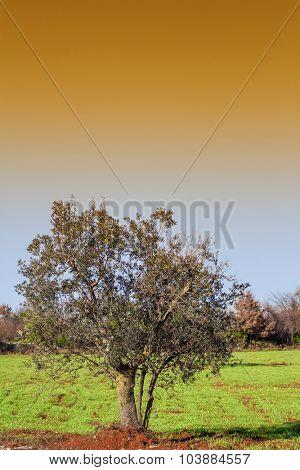 Mediterranean plantation of olive trees