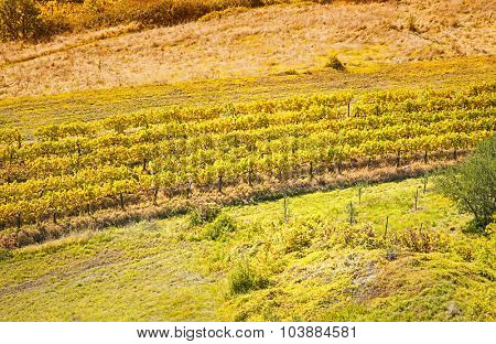 Mediterranean Vineyard on the hill on a sunny day