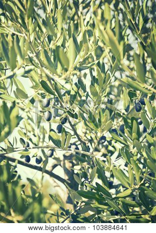 Olives on the tree against blue sky. Selective Focus, retro style toned photo